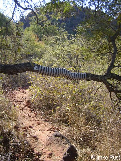 IRust_Zebra Stripes