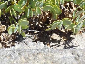 A  well camouflaged desert gecko