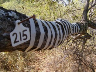 Zebra Crossing ©ImkeRust (The nail and number disc was already in the tree, used by the lodge to help hikers to identify the type of tree.)