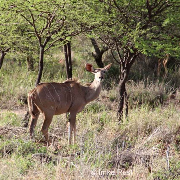 This is a photograph of the kudu cow that has asked me to paint her portrait
