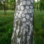 Charcoal circles on birch tree