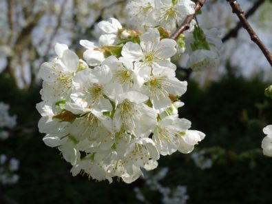 Our garden: Cherry blossoms