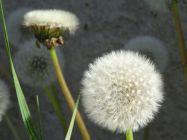 Our garden: Dandelions