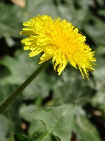 Our garden: Dandelions blooming