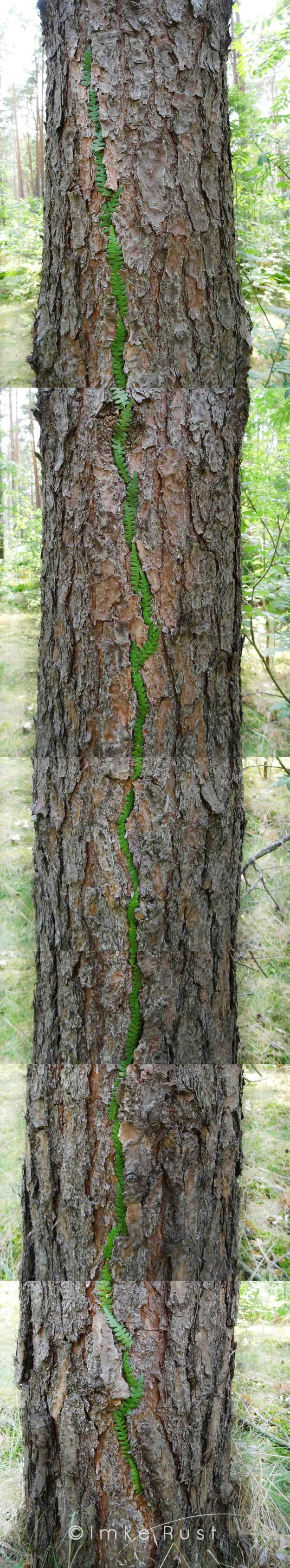 Scrolling up and down the green line on the bark of the tree (the line is about 2m long )